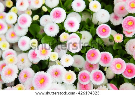 Colorful daisy (Bellis perennis) in a garden. Shallow DOF! - stock photo