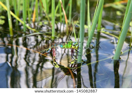 Colorful dragonfly on a plant reflecting in the water, isolated on natural background - stock photo