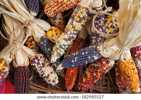 Colorful dried Corn - stock photo