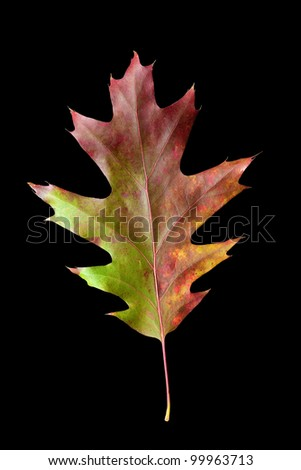 Colorful fall Oak leaf with clipping path - stock photo
