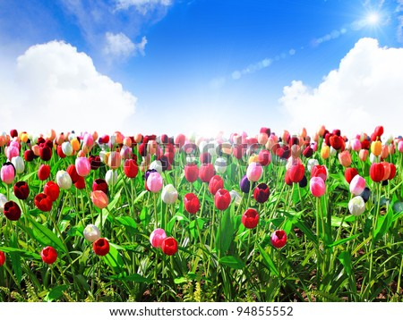colorful field of tulips and blue sky - stock photo
