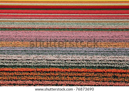 Colorful flowerfield in Holland - stock photo