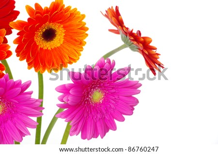colorful  flowers gerberas on white background - stock photo