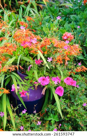 Colorful flowers in violet ceramic pot in overgrown garden.  - stock photo