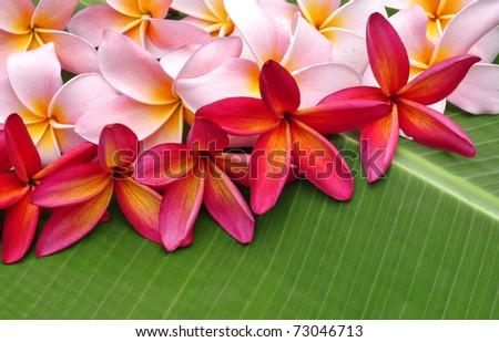 Colorful Frangipani flowers - stock photo