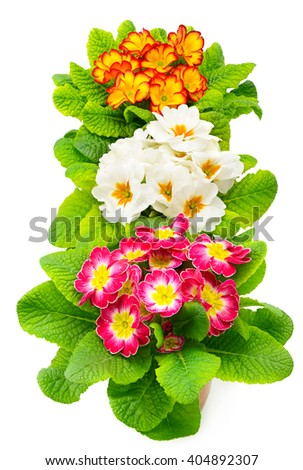Colorful fresh primula isolated on white - stock photo