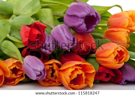 colorful fresh red, orange and violet tulips with water drops isolated on white background - stock photo