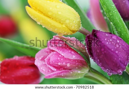 Colorful fresh spring tulips flowers with dew drops. Close-up with shallow DOF. - stock photo