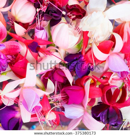 colorful fuchsia flowers like background, card for summer or spring designs, closeup - stock photo
