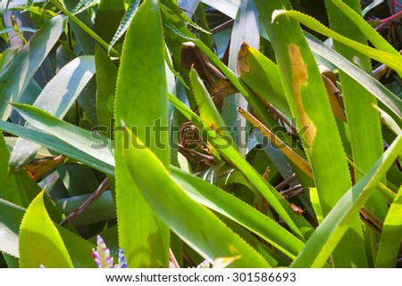 Colorful  geckos and bromeliad portea plants - stock photo