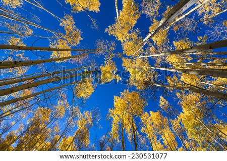 Colorful golden aspens pictured against a crisp, clear fall sky - stock photo