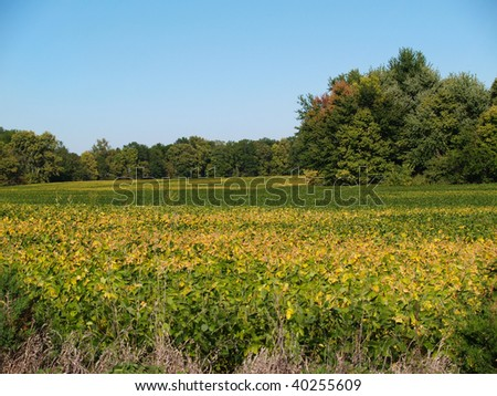 Colorful green and golden ripening soybean field in Indiana. - stock photo
