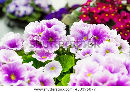Colorful holiday or birthday background with beautiful closeup Viola or Pansy flowers - stock photo