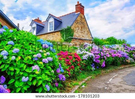Colorful Hydrangeas flowers in a small village, Brittany, France - stock photo