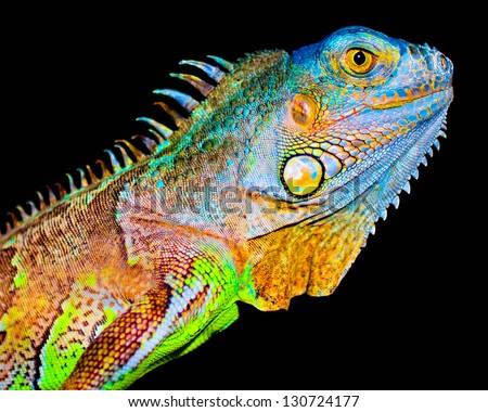 Colorful iguana on black background - stock photo