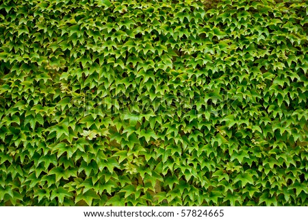 Colorful ivy leaves in Summer, gray colored wall as background. - stock photo