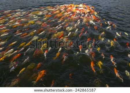 Colorful koi fish - stock photo