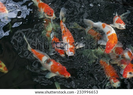 Fish pond stock photos images pictures shutterstock for Colorful pond fish