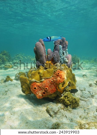 Colorful life underwater on seabed of the Caribbean sea with sponges, coral and a bluehead fish - stock photo
