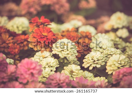 Colorful little flower blossom in garden with vintage retro tone - stock photo