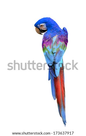 Colorful Macaw bird, parrot isolated on white background - stock photo
