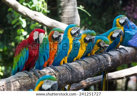 Colorful macaws - stock photo
