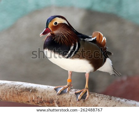Colorful male mandarin duck (Aix galericulata) - stock photo