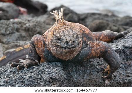Colorful male marine iguana on volcanic rock. - stock photo