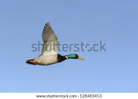Colorful mallard duck flying against blue sky - stock photo