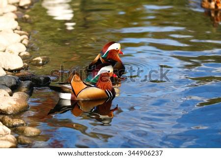 Colorful Mandarin duck. Mandarin duck swimming on the lake. - stock photo