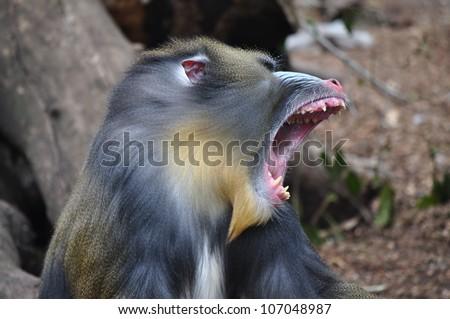 Colorful mandrill yawning (Mandrillus sphinx) - stock photo