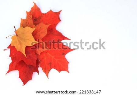 Colorful maple leaves on white background. Copy space, use you own text. - stock photo
