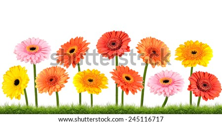 Colorful Marigold  Flowers Growing in the Grass Isolated on White Isolated on White Background. Vibrant Red, Blue, Pink, Purple, Yellow White, and Orange Colors. Dahlia, Marigold, and wildflowers - stock photo