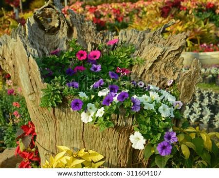Colorful multiflora petunias in  wooden planter - stock photo