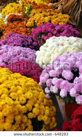 Colorful Mums - stock photo