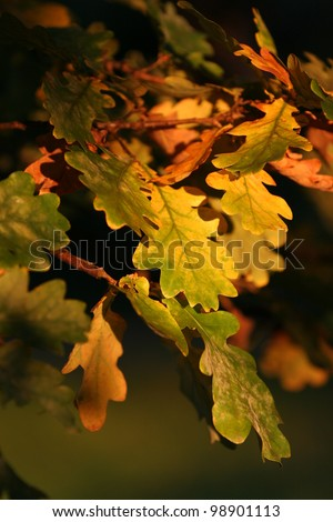 Colorful oak leaves in the evening sun of an autumn day. - stock photo