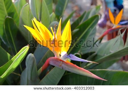 Colorful of Bird of paradise flower blossom in botanic garden. Malaga Spain. - stock photo
