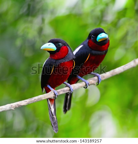 Colorful of black and red bird, couple of Black-and-Red broadbill (Cymbirhynchus macrorhynchos) standing on a branch, during feeding season - stock photo