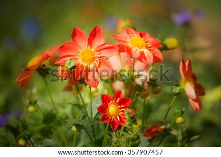 Colorful of Dahlia flowers in the garden. - (Selective focus) - stock photo