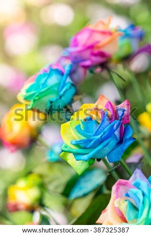 Colorful of rainbow roses flower. Macro of rainbow roses with multi colored petals - stock photo