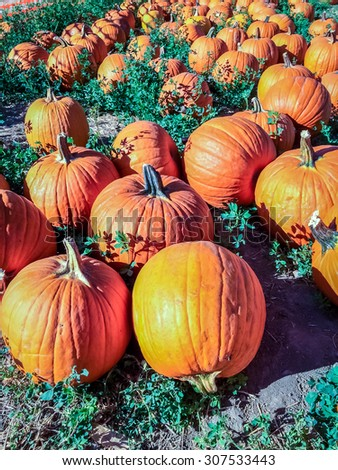 Colorful orange pumpkins in a pumpkin patch ready for Halloween. - stock photo