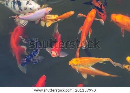 Colorful ornamental fish in the pond - stock photo
