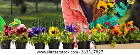 Colorful pansy flowers in pots and young gardener - stock photo