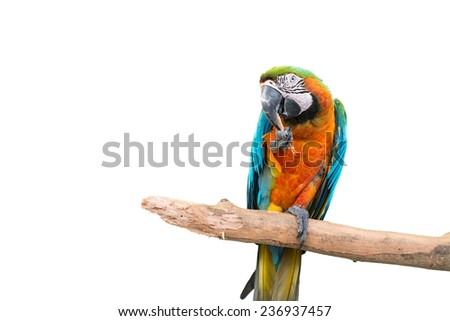 colorful parrot standing on a branch isolated on white background - stock photo