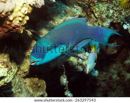Colorful parrotfish (Scaridae) feeding on coral - stock photo