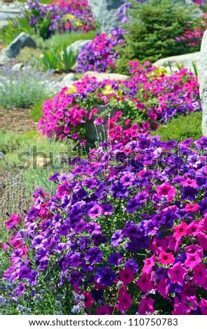 Colorful petunia garden in summer - stock photo