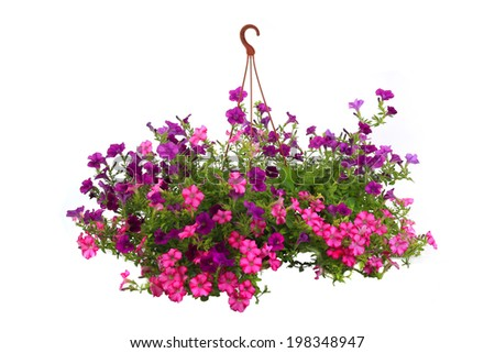 Colorful petunias close-up isolated on a white background - stock photo