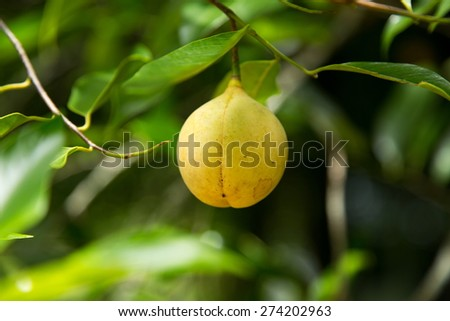 Colorful photo of Nutmeg fruit on the tree - stock photo