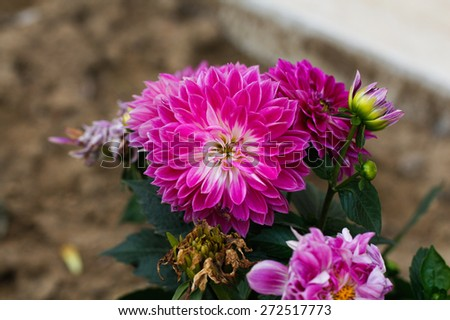 Colorful pink autumnal chrysanthemum background. Pink flowers. Chrysanthemum flowers in the garden. - stock photo