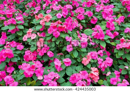 Colorful pink impatiens flowers background - stock photo